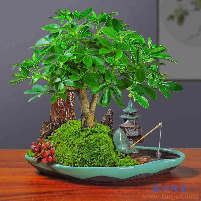 哥窑榕树紫檀榆树文竹澳洲杉微景观造景DIY专用土培陶瓷组合花盆